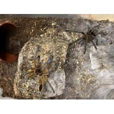Harpactira pulchripes - Golden Blue Leg Baboon Tarantula - Adult Male (Matured November 2019)