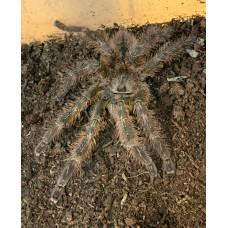 Poecilotheria striata - Mysore Ornamental Tarantula - Adult Male (Matured May 2020)