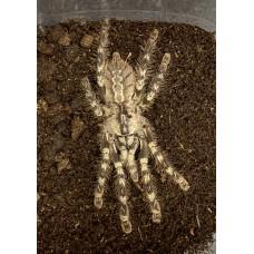 Poecilotheria striata - Mysore Ornamental Tarantula