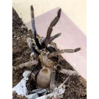 Chilobrachys species - Cambodian Blue Tarantula