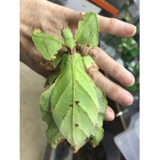 Giant Malaysian Leaf Insect (Phyllium giganteum) Nymph
