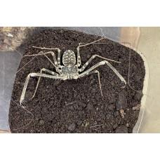 Tail-less Whip Scorpion (Damon medius) Large (sub-adult)