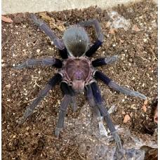 Theraphosinae species Roatan - Roatan Island Purple Tarantula - Size: Adult Male (Matured July 2021)