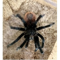 Brachypelma angustum - Costa Rican Red Tarantula / Adult Male (Matured November 2020)