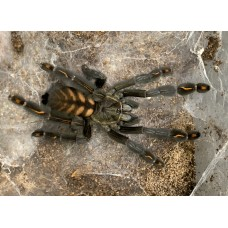 Psalmopoeus irminia - Venezuelan Sun Tiger Tarantula - Juvenile