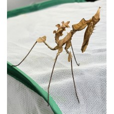 Devil praying mantis