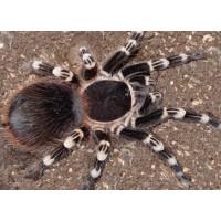 Acanthoscurria geniculata - Giant White Knee Tarantula