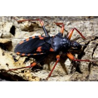 Giant Spiny Assassin Bug (Psytalla horrida) Adult