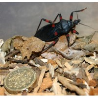 Red Spotted Assassin Bug (Platymeris rhadamanthus) Adult