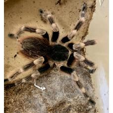 Nhandu coloratovillosus - White Striped Birdeating Tarantula / Adult Male (Matured May 2020)