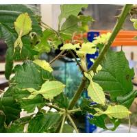 Leaf Insect (Phyllium species) Medium nymph