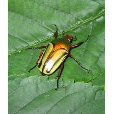 Giant Metallic Fruit Beetle (Coelorrhina hornimani)  Large Larva
