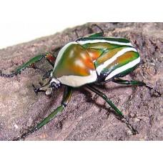 Giant Striped Fruit Beetle (Dicronorrhina layardi)  Larva