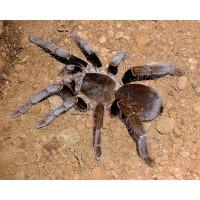 Hysterocrates laticeps - Nigerian Brown Baboon Tarantula