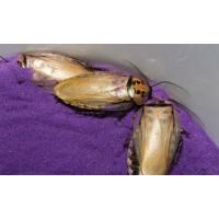 Trinidad Cave Cockroach (Eublaberus distanti) Nymph