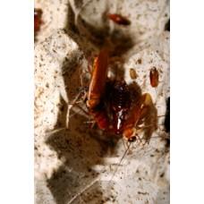 Red Runner Cockroach (Shelfordella tartara)  Per Tub