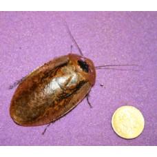 Giant Leaf Cockroach (Archimandrita tesselata) Nymph