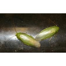 Green Banana Cockroach (Panchlora nivea) Nymph