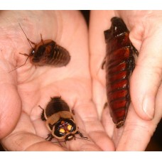 Cockroaches / Livefood (species & sizes will vary) per tub