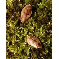 Porcelain Cockroach (Gyna lurida) - Per Tub