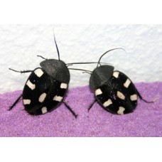 Domino Cockroach (Therea bernhardti)  Per Tub