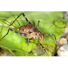 Cave Crickets (Phaeophilacris bredoides)  Large nymphs x 3
