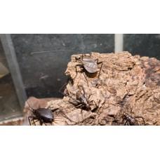 Ethiopian Crickets (Homoeogryllus xanthographus) Per tub