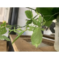 Philippine Leaf Insect (Phyllium phillipinicum) Adult m&f pair (matured May/June 2021)