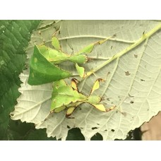 Green Leaf Insect (Phyllium hauslethneri) Nymph