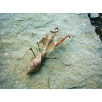Giant Dead Leaf Praying Mantis (Deroplatys dessicata)  Adult female (collection only)
