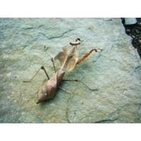 Giant Dead Leaf Praying Mantis (Deroplatys dessicata)  Nymph