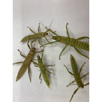 Giant Spiny Stick Insect (Eurycantha calcarata) Large Nymph