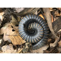 Giant Cameroon Starburst Millipede (Unknown species) Adult/Sub-adult