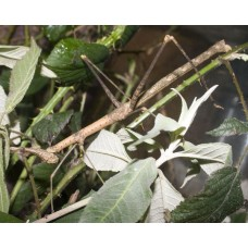 Horse-head Grasshopper (P. latirostris) Large Nymph / Female