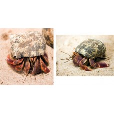 Land Hermit Crab (Coenobtia clypeatus) Posted at your own risk