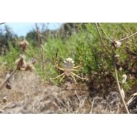 Lobed Argiope Spider (Argiope lobata) Spiderlings x 3
