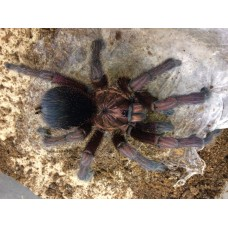 Phormictopus cancerides - Haitian Brown Birdeating Tarantula - Adult Male (Matured October 2017)