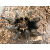Phormictopus cubensis - Cuban Gold Birdeating Tarantula - Adult male (Matured June 2017)