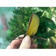 Costa Rica Stick Insect (Pseudophasma fulvum) - Nymph