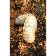 Rhinoceros Beetle (Oryctes owariensis) Huge Larva