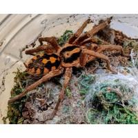 Hapalopus species 'gross'- Large Pumpkin Patch Tarantula