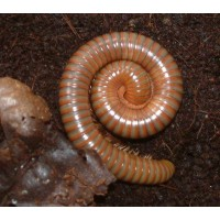 Burmese Beauty Millipede (Spirostreptus species) Large juvenile