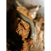 Florida Ivory Millipede (Chicobolus spinigerus) Large juvenile / Sub-adult
