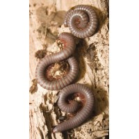 Thailand Rainbow Millipede (Apeuthes species) Adult/Sub-adult