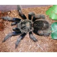 Eurathus species - Pichidangui Blue Beauty Tarantula