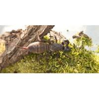 Giant Vinegaroon (Mastigoproctus giganteus) Adult/Sub-adult