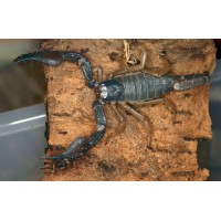 Shiny Burrowing Scorpion (Ophistothalmus glabrifrons) Juvenile - Collection Only