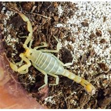 Dune Devil Scorpion (Vaejovis waeringi) Juvenile