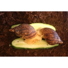 Marbled Albino African Land Snail (Achatina reticulata)  Medium/Large (April 2019 shell length approx. 6-7cm)