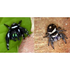 Regal Jumping Spider (Phidippus regius) Juvenile x 2 (Will do my best to send a male/female pair!)